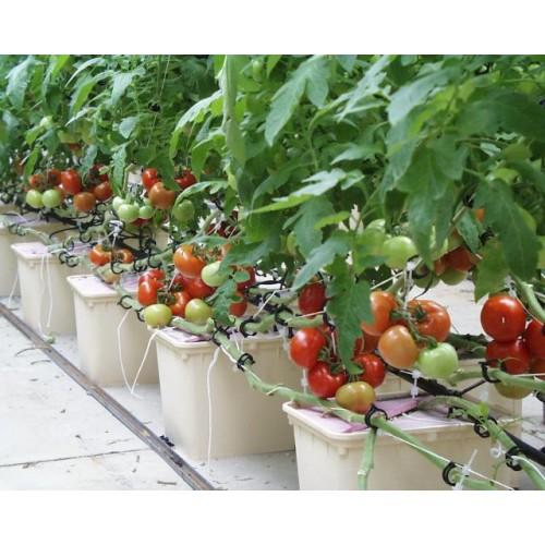 Balkondaki domatesleri nasıl yetiştirirsiniz